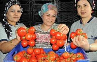 Bursa'da domates doları solladı