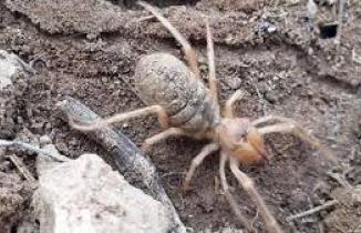 Sivas'ta etçil 'sarıkız' örümceği görüntülendi